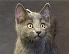 [picture of Danilo, a Russian Blue Mix blue\ cat]