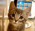A picture of #ET02503: Daunte a Domestic Medium Hair silver
