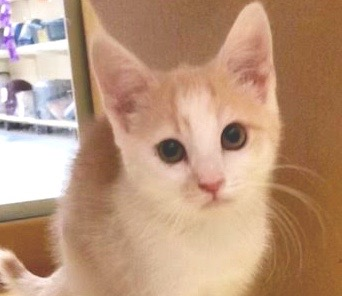 [picture of Deo, a Domestic Short Hair white/orange\ cat]