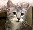 A picture of #ET02505: Nickela a Domestic Short Hair sliver tabby