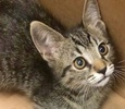 A picture of #ET02506: Thane a Domestic Short Hair gray tabby