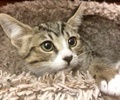 A picture of #ET02508: Theresa a Domestic Short Hair gray tabby/white