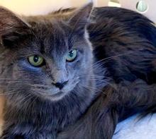 [picture of Finna, a Ragdoll Mix blue\ cat]
