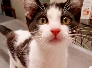 [picture of Dime, a Domestic Short Hair black/white\ cat]