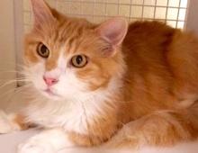 [picture of Jackpot, a Domestic Long Hair orange/whie\ cat]