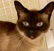[picture of Asiya, a Siamese seal point\ cat]