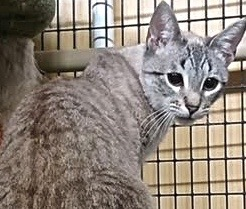 [picture of Charles, a Siamese lynx point\ cat]