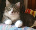 A picture of #ET02514: Gracie a Domestic Short Hair silver/white