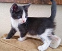 A picture of #ET02515: Tommy a Domestic Short Hair blue/white