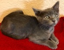 A picture of #ET02516: Ryan a Russian Blue Mix blue