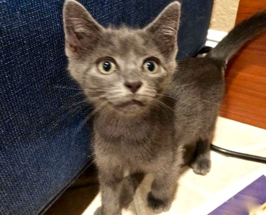 [picture of Chad, a Russian Blue Mix blue\ cat]