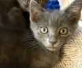 A picture of #ET02518: Annie a Russian Blue Mix blue