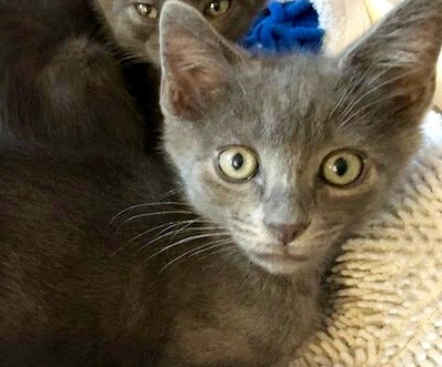 [picture of Annie, a Russian Blue Mix blue\ cat]