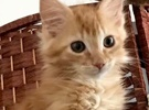 A picture of #ET02519: Bellamy a Domestic Long Hair orange