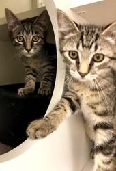 [picture of Jasper, a Bengal Mix gray cat]