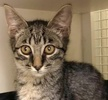 A picture of #ET02521: Monty a Domestic Short Hair brown tabby