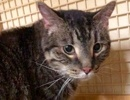 A picture of #ET02522: Amasa a Domestic Short Hair brown tabby large