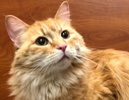 A picture of #ET02523: Christi a Ragdoll Mix orange