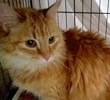 [another picture of Christi, a Ragdoll Mix orange\ cat]