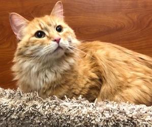 [picture of Christi, a Ragdoll Mix orange cat]
