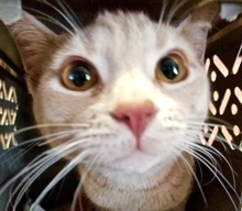 [picture of Harrow, a Hemmingway Polidactyl orange\ cat]