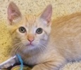 A picture of #ET02525: Sunshine a Domestic Short Hair orange