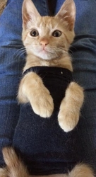 [picture of Sunshine, a Domestic Short Hair orange cat]