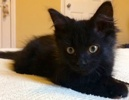 A picture of #ET02526: Midnight a Domestic Long Hair black