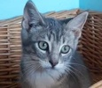 A picture of #ET02560: Starfire a Domestic Short Hair sliver tabby