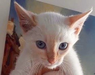 [picture of Flash, a Siamese flame point\ cat]