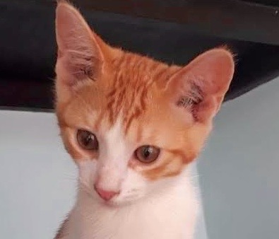 [picture of Auqaman, a Domestic Short Hair orange/white\ cat]