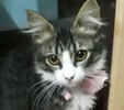 A picture of #ET02563: Pelosa a Maine Coon-x gray/white