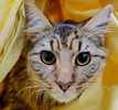 A picture of #ET02564: Arimas a Maine Coon-x brown