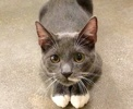 A picture of #ET02565: Popeye a Russian Blue Mix blue/white