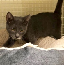 [picture of Popeye, a Russian Blue Mix blue/white cat]