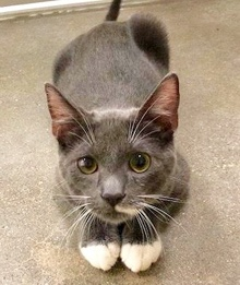 [picture of Popeye, a Russian Blue Mix blue/white\ cat]