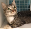 A picture of #ET02566: Nica a Domestic Long Hair gray tabby/white