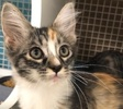 A picture of #ET02567: Mika a Maine Coon-x calico