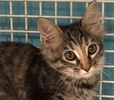 A picture of #ET02568: Tika a Maine Coon-x gray tabby