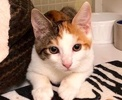 A picture of #ET02570: Toki a Domestic Short Hair calico