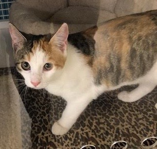 [picture of Toki, a Domestic Short Hair calico cat]