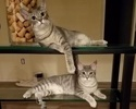 A picture of #ET02572: Mercedes a Domestic Short Hair silver
