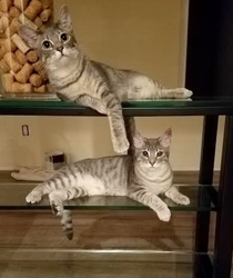 [picture of Mercedes, a Domestic Short Hair silver cat]