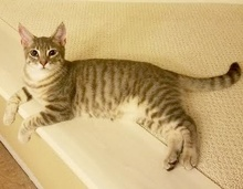 [picture of Mercedes, a Domestic Short Hair silver\ cat]