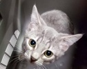 A picture of #ET02573: Lanborghini a Domestic Short Hair silver