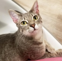 [picture of Lanborghini, a Domestic Short Hair silver\ cat]