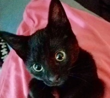 [picture of Mozarati, a Domestic Short Hair black\ cat]