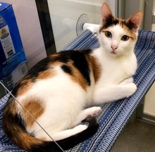 [another picture of Jyllianna, a Domestic Short Hair calico\ cat]