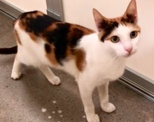 [picture of Jyllianna, a Domestic Short Hair calico cat]