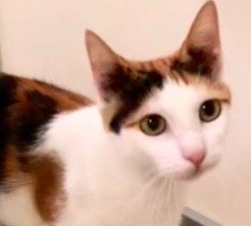 [picture of Jyllianna, a Domestic Short Hair calico\ cat]